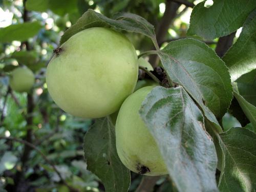 #drzewa #jabłka #owoce #jabłonie #ogród