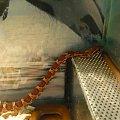 #gady #mahoniowy #mahoniówka #okeetee #orca #orka #reptilies #snake #snakes #terrarium #trociny #wąż #WążMahoniowy #WążZbożowy #węże #zbożowy #zbożówka