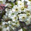 #pszczoła #wiosna #kwiaty #lot #wiśnia