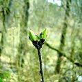 #drzewa #gałęzie #liście #pączek #wiosna