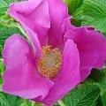 dzika róża #kwiatek #roślina #DzikaRóża #różowe #płatki