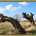 stare wierzby #drzewa #przyroda #wierzby