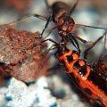 mrówki #przyroda #natura #zwierzęta #owady #mrówki #makrofotografia