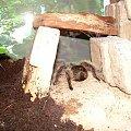 Brachypelma albopilosum #pająk #ptasznik #Brachypelma #albopilosum