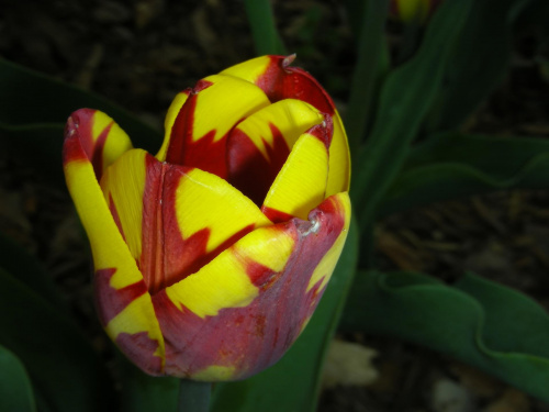 #KolorowyTulipan #tulipan #kolorowy #kolor #ŁadnyTulipan #ŁadnyKolorowyTulipan #TulipanWOgrodzie #ogród #botanika #Powsin #OgródBotanicznyWPowsinie #OgródWPowsinie #BotanikaWPowsinie #KolorowyKwiatWOgrodzie #KolorowyTulipanWOgrodzie #kolory