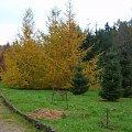 Kolorowe iglaki. #jesień #przyroda #drzewa #OgródDendrologiczny