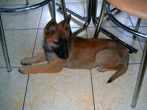 Mój nowy pies ma 7 tygodni. Rasa to owczarek niemiecki #dog #mlody #OwczarekNiemiecki #pies #piesek #rasa #rasowy #rodowód #suczka #szczeniak