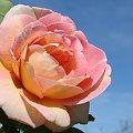 #róze #kwiaty #ogrody