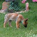 Owczarek niemiecki długowłosy. #dog #mlody #OwczarekNiemiecki #pies #piesek #rasa #rasowy #rodowod #suczka #szczeniak