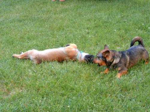 zabawa psów(prawie jak walka)5 #dog #mlody #OwczarekNiemiecki #pies #piesek #rasa #rasowy #rodowod #suczka #szczeniak #kundel #zabawa #walka #zlosc #rodzina #glupota #miki #szczur