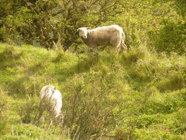 #bornholm #dania #zwierzęta #owce
