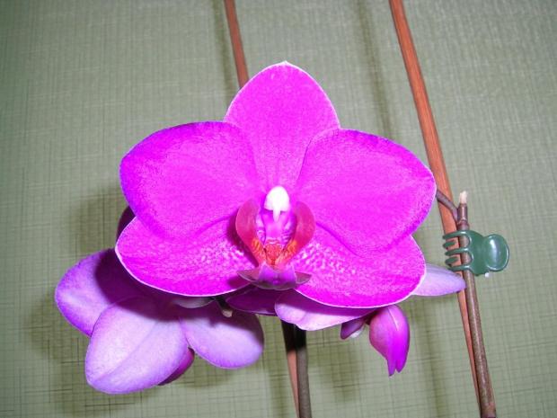 storczyk #storczyk #kwiat