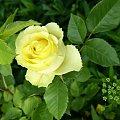 cytrynowa? #róze #kwiatki
