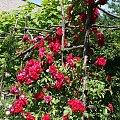 obrodziła #róze #kwiatki #pnące