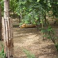 Zoo #TygrysSyberyjski #tygrys #ZooPoznań #zoo #zwierzęta
