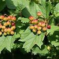 owoc kaliny #ogród #krzew #owoc