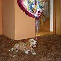 #zwierzęta #psy #spaniel #zabawa #balon