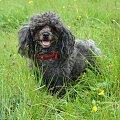 Moja psica #zwierzęta #przyroda #pies #psy #pudel #pupil