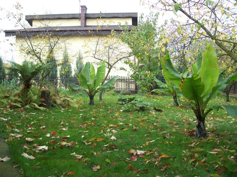 Le forum des fous de palmiers id bananier rouge e for Bananier artificiel pas cher