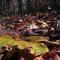 Szyndzielnia oczyma Skrzata #Beskidy #skrzat #jesien #liscie #gory #Szyndzielnia