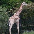 #ZwierzętaEgzotyczne #żyrafa #zwierzęta