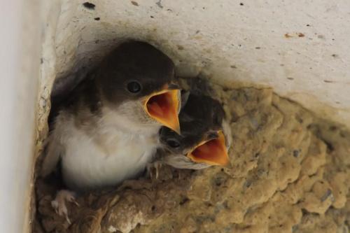 #jaskółki #ptaki #pisklaki #natura #przyroda