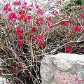 Egipt - krzewy bez liści a kwitną...? #Egipt #krzew #kwiaty #ogród