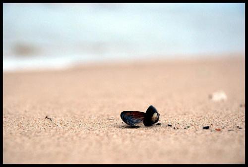 OMUŁEK JADALNY / ŁEBA #Omułek #muszla #plaża #morze #Łeba