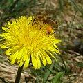 Pszczoła zbierająca nektar. #mlecz #nektar #owad #pszczoła #pyłek