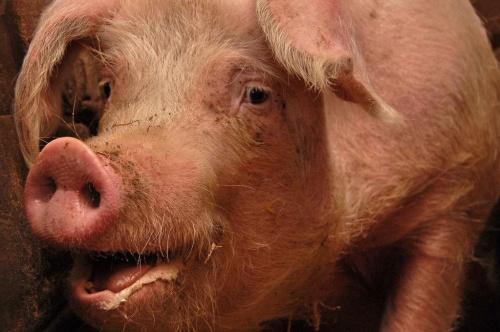 #świnia #swinia #swinie #świnie #wieprzowina #hodowla