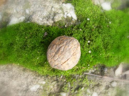 Łupka urzecha na mchu #Orzech #makro #natura #przyroda