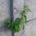 Pokrzywa w murze #Pokrzywa #mur #zieleń #roślina